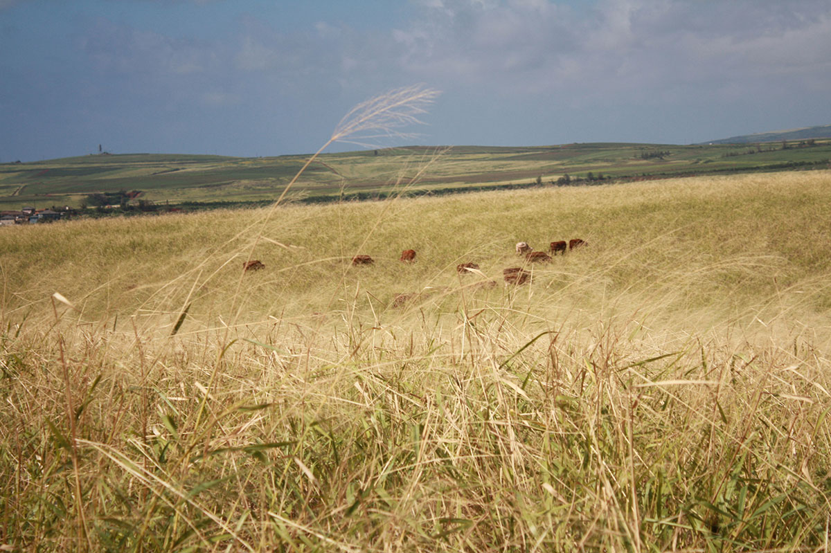 pasture_cattle_horizon